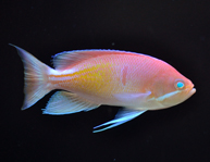 marcia-Anthias.jpg